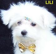 Cute Maltese puppies for adoption